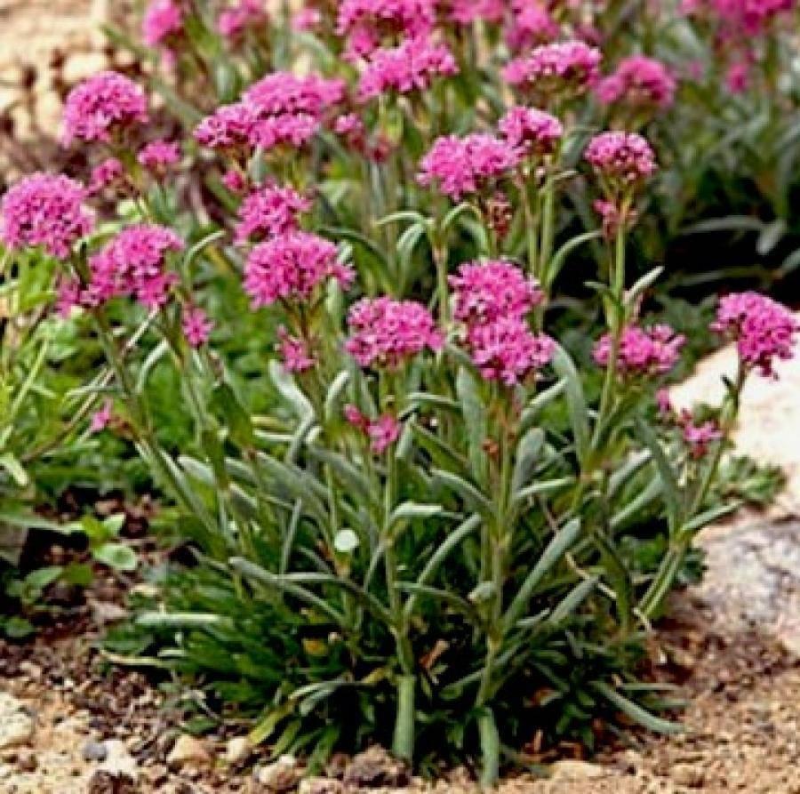 Все о лихнисе корончатом: описание, посадка и уход за цветком в открытом грунте