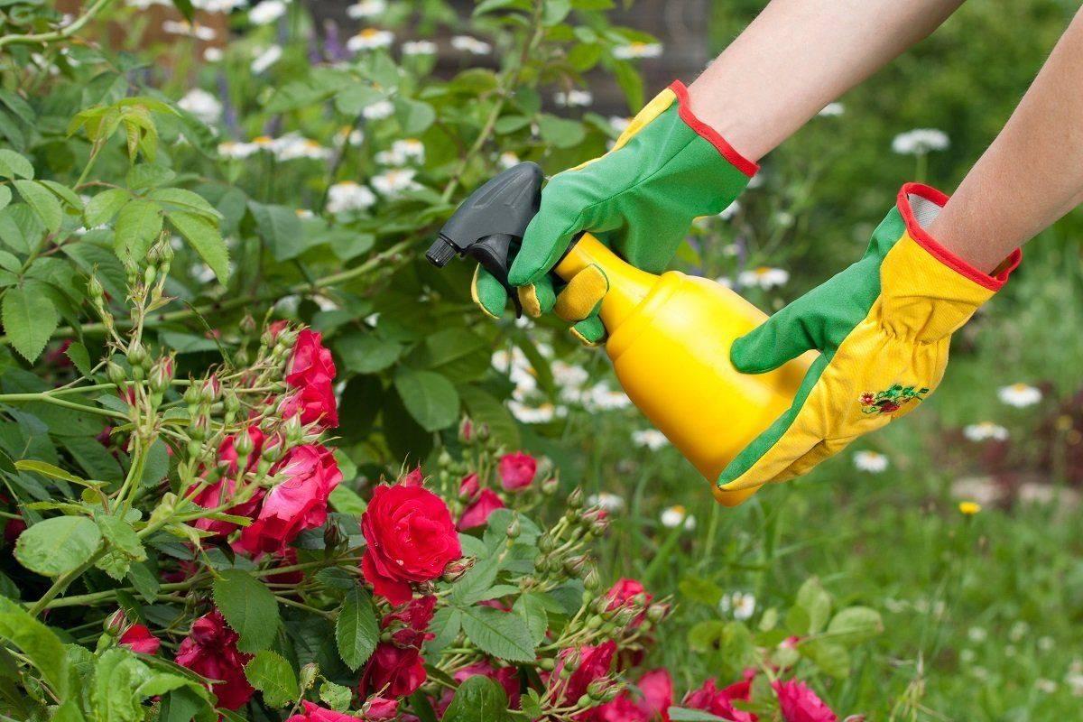 Чем подкормить розы весной после зимы?