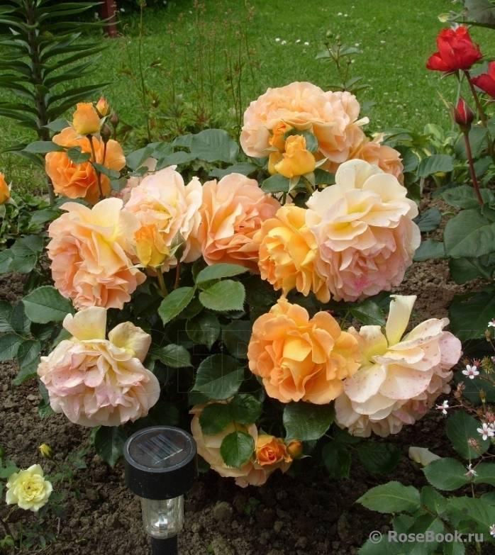 Описание и характеристики сорта розы-спрей лидия лавли: размножение и цветение