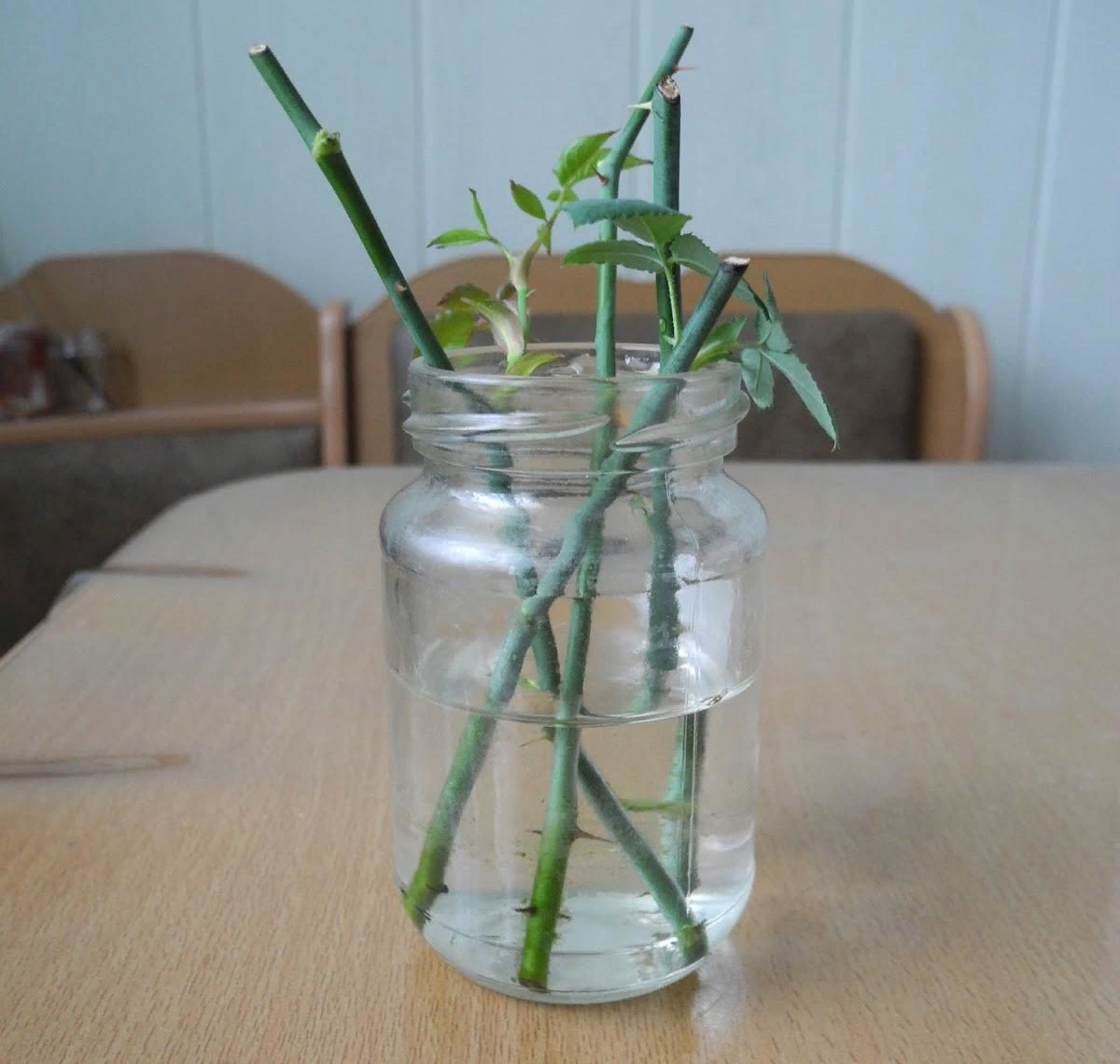 Как правильно выращивать розы из семян?