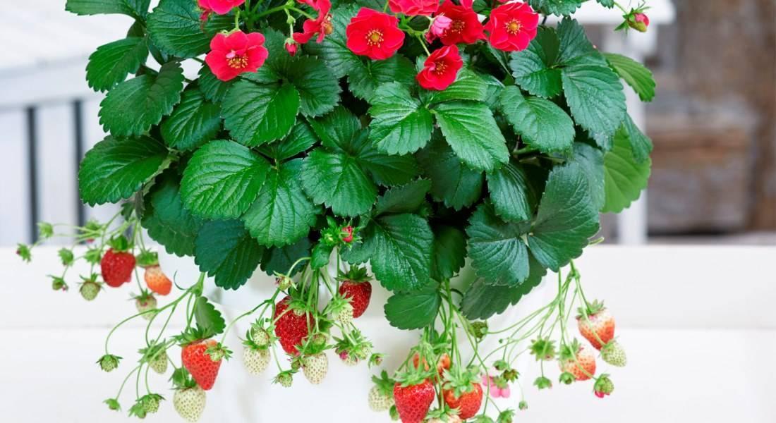 Ампельная клубника: уход и выращивание в домашних условиях