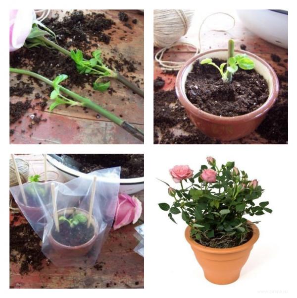 Как вырастить розы в домашних условиях из семян из китая, какие будут цветы, можно ли избежать обмана при покупке, как посадить и пошаговая инструкция по выращиванию
