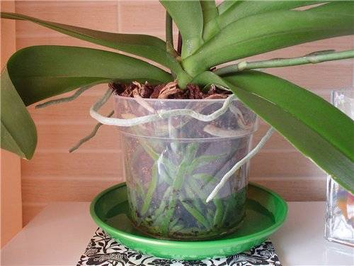 Как ухаживать за цветком орхидея (фаленопсис) в домашних условиях