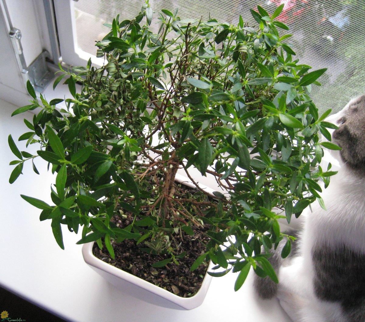 Мирт - уход в домашних условиях, размножение и правила выращивания!