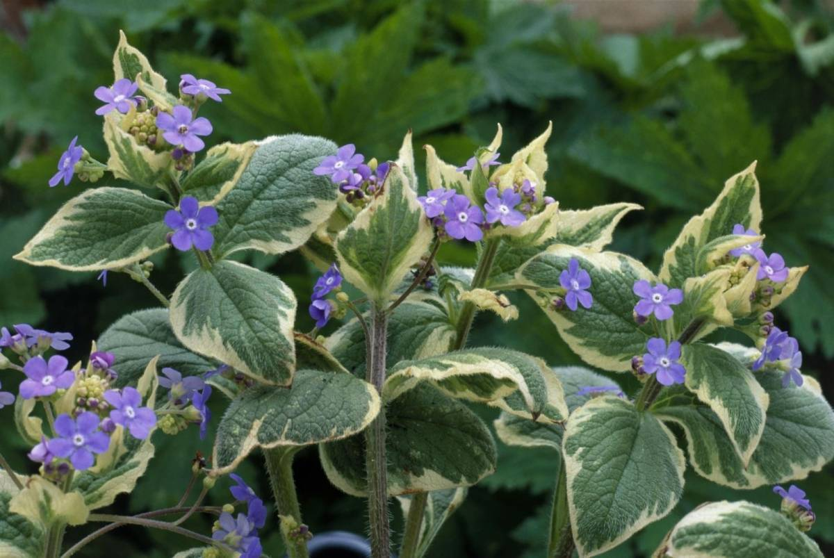 Цветок бруннера: посадка и уход в открытом грунте, фото, виды и сорта