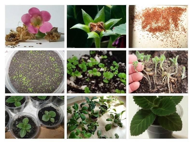 Глоксиния в домашних условиях, размножение, зимовка