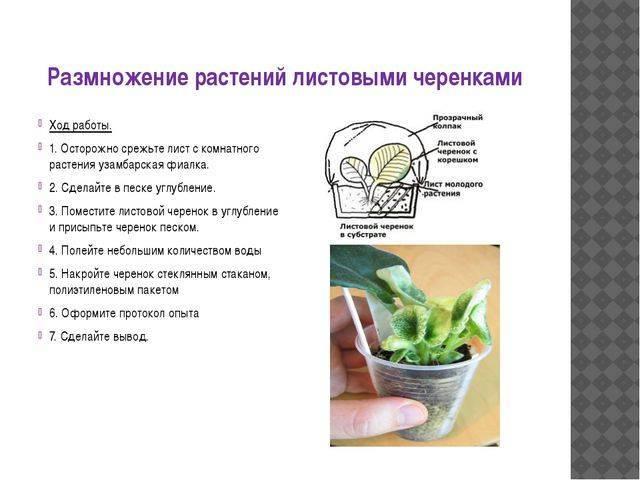Всё о размножении кактусов
