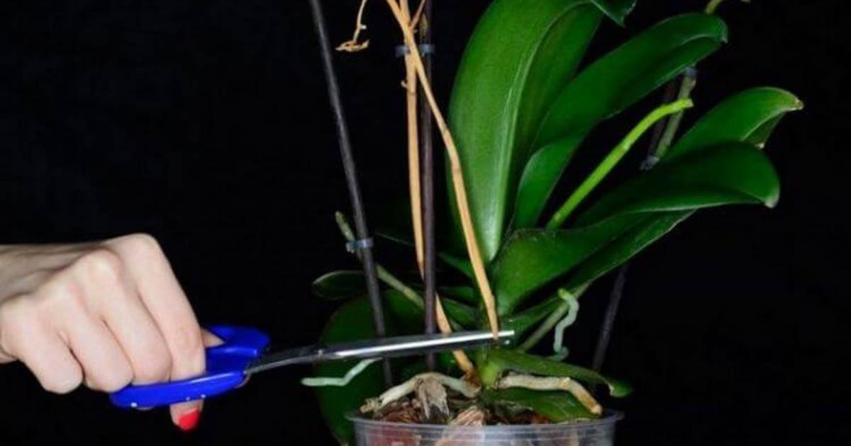 Сколько цветет орхидея раз в году: часто ли в домашних условиях бывает период, когда растение выпускает стрелку, а также как долго по времени это продолжается?