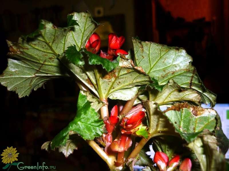 Болезни бегонии и борьба с вредителями: причины заболеваний растения и наиболее эффективные растительные препараты