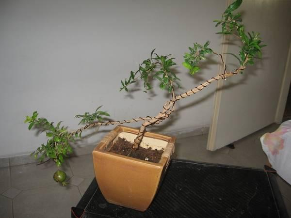 Как самостоятельно вырастить бонсай: подробная инструкция для садоводов