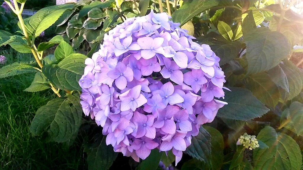 Яркая гортензия, меняющая цвет. как сделать растение голубым или розовым?