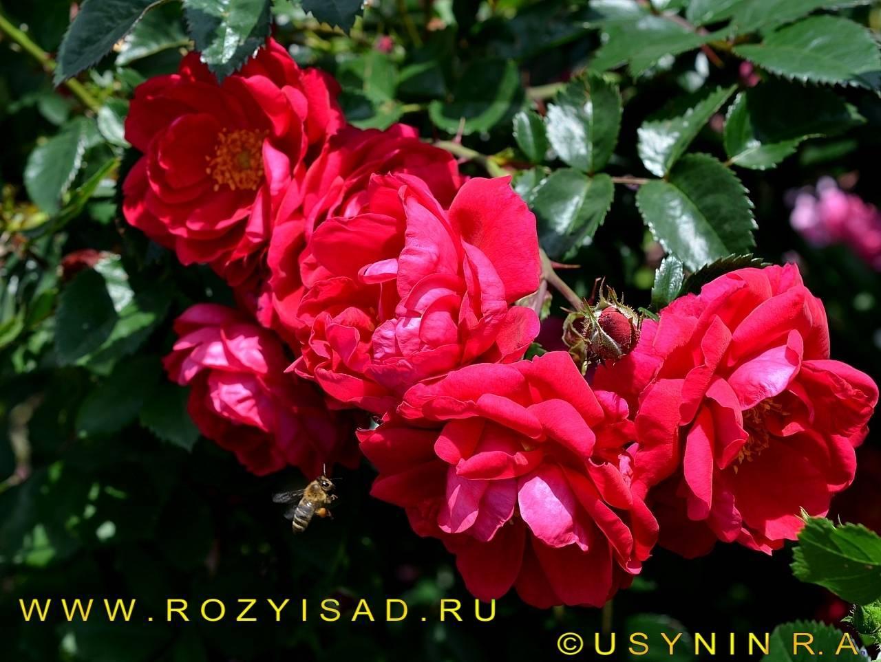 Роза анни дюпрей (anny duperey) — выращивание и уход