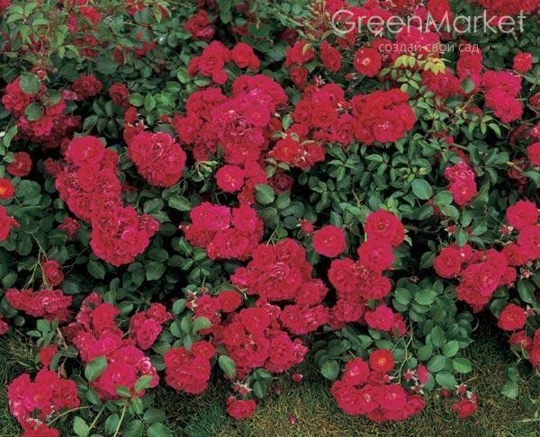 Роза bonica 82 - нежная, но крепкая