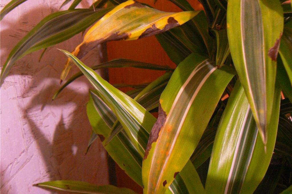 Листы спатифиллума полностью желтеют или сохнут лишь кончики: почему, что делать
