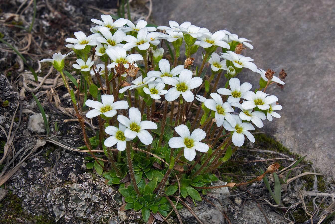 Камнеломка многолетняя: виды и сорта - энциклопедия цветов