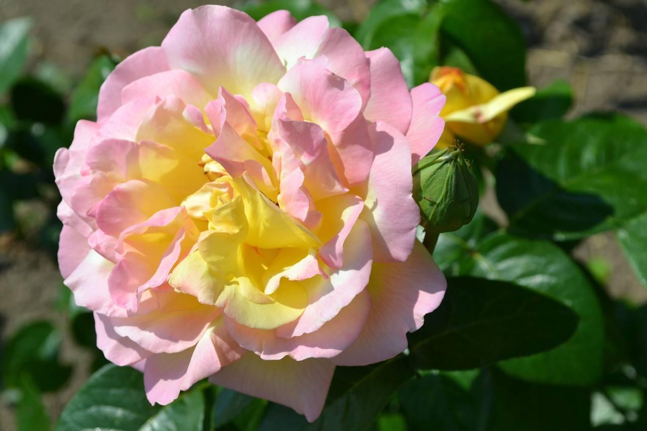 6 типичных ошибок в уходе за розами | о розе
