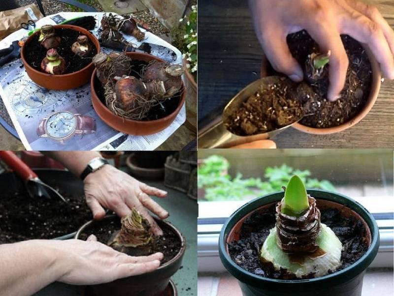Как ухаживать за гиппеаструмом, чтобы он зацвел? что делать, если он не цветет, а выпускает только листья? чем подкармливать?