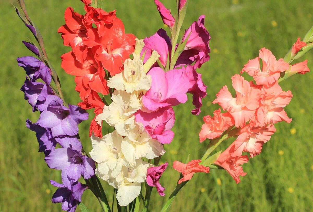 Цветы Гладиолусы многолетние — описание