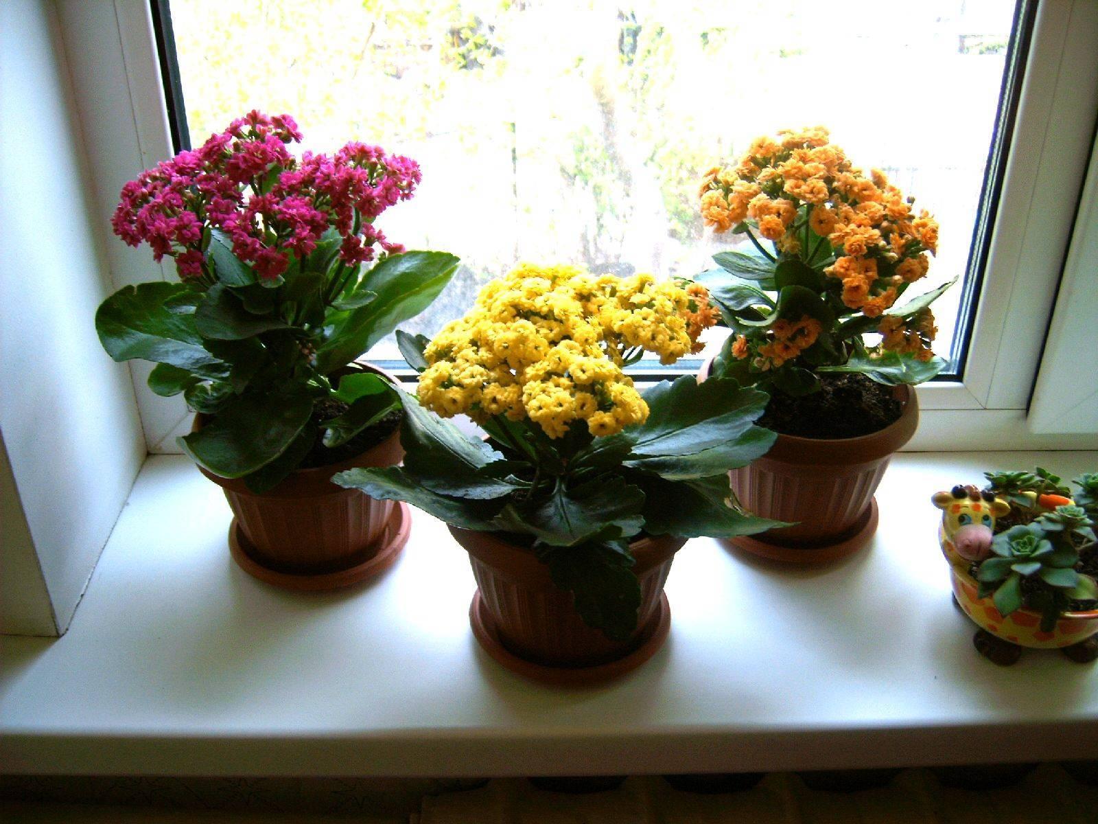 Почему не цветёт каланхоэ, а даёт только листву?