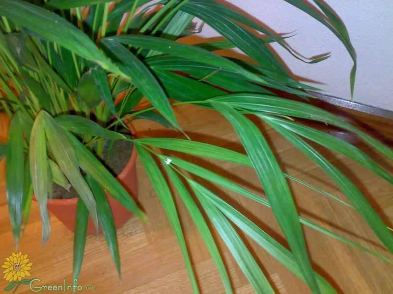 О пальмах арека хризалидокарпусах желтоватый и лютесценс: выращивание из семян