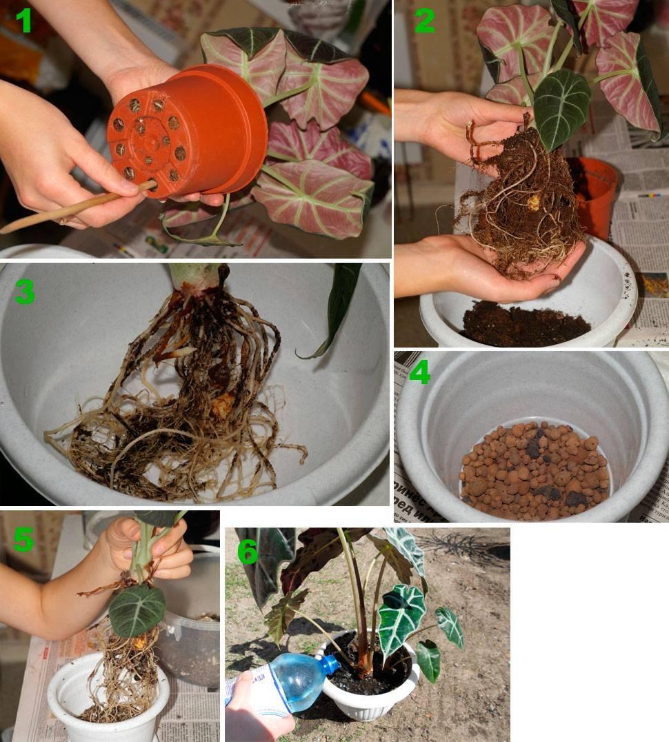 Эхеверия: описание и агротехника выращивания