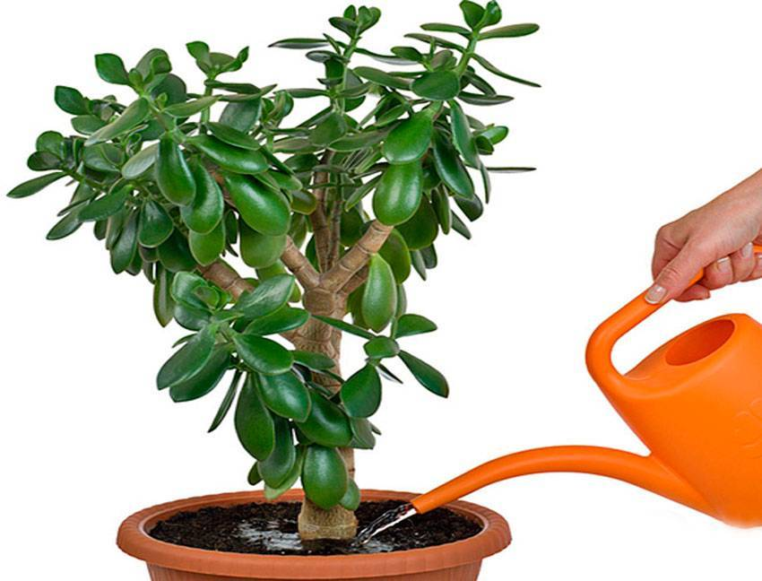 Как пересаживать денежное дерево. когда нужно пересаживать денежное дерево
