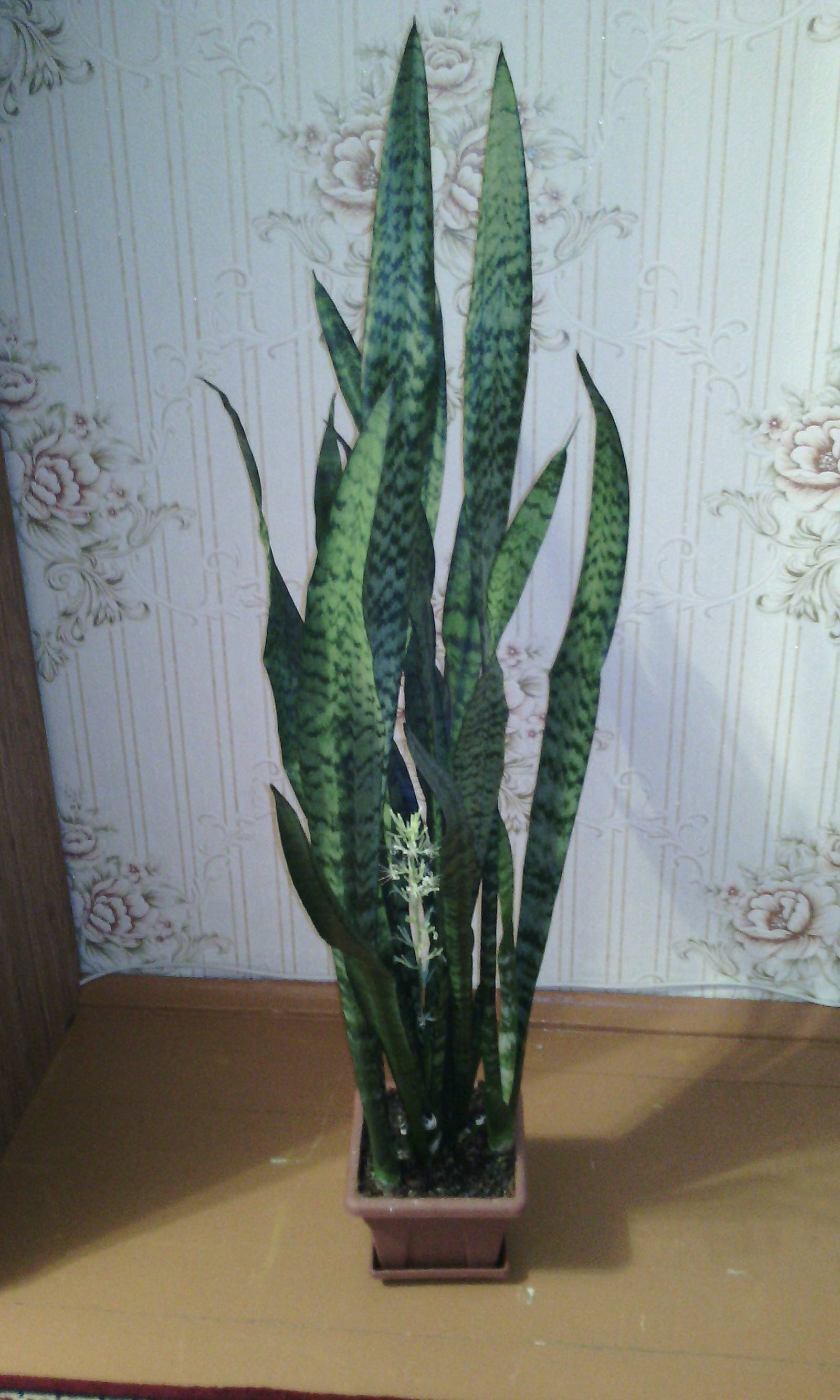 Сансевиерия цилиндрическая: выращивание и уход за растением