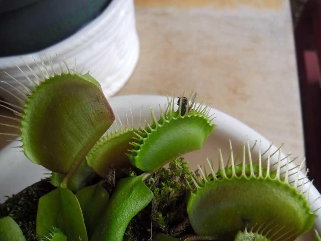 Венерина мухоловка: уход в домашних условиях, фото, выращивание из семян, чем кормить
