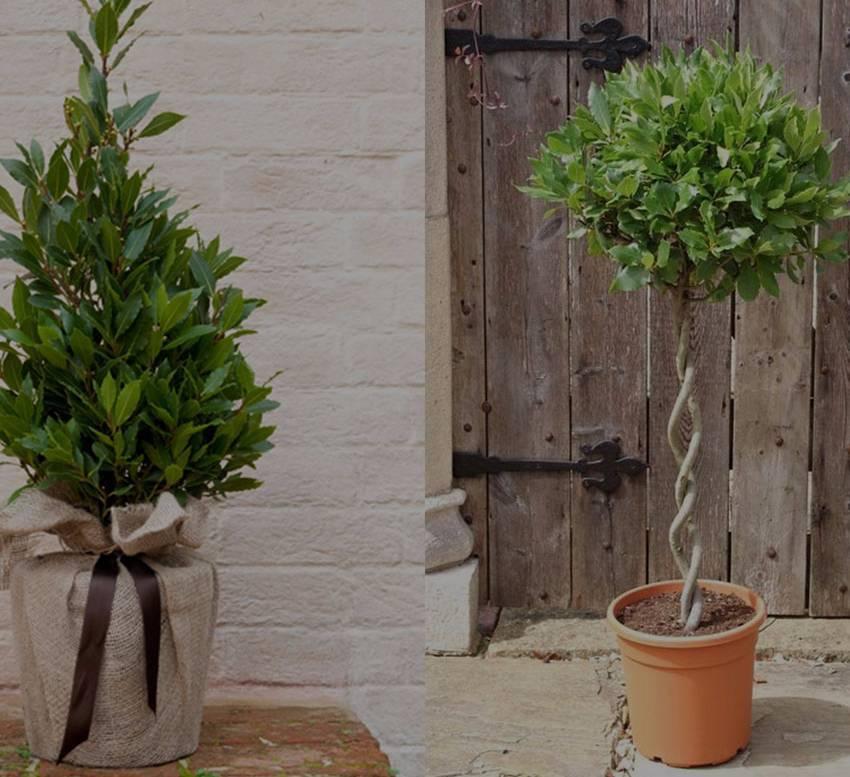 Тропическое растение у вас дома — бутылочное дерево (нолина)