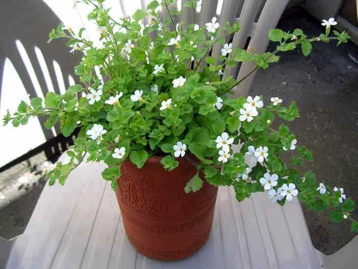 Бакопа: разновидности, уход в саду и в комнате, методы размножения, фото
