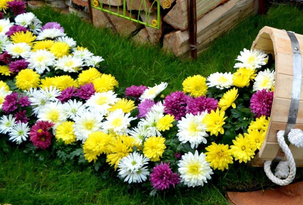 Гербера садовая – капризная красавица у вас во дворе