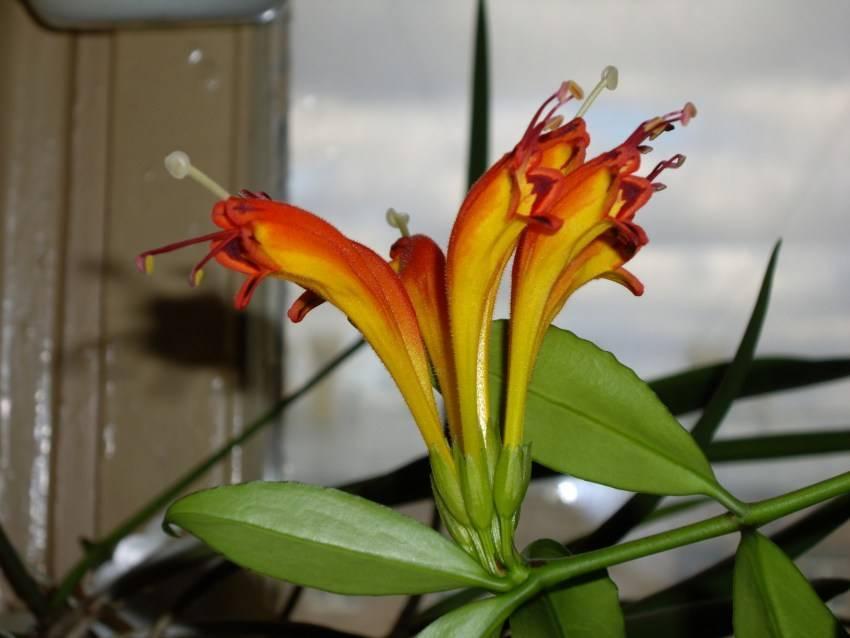 Цветок эсхинантус: как ухаживать в домашних условиях