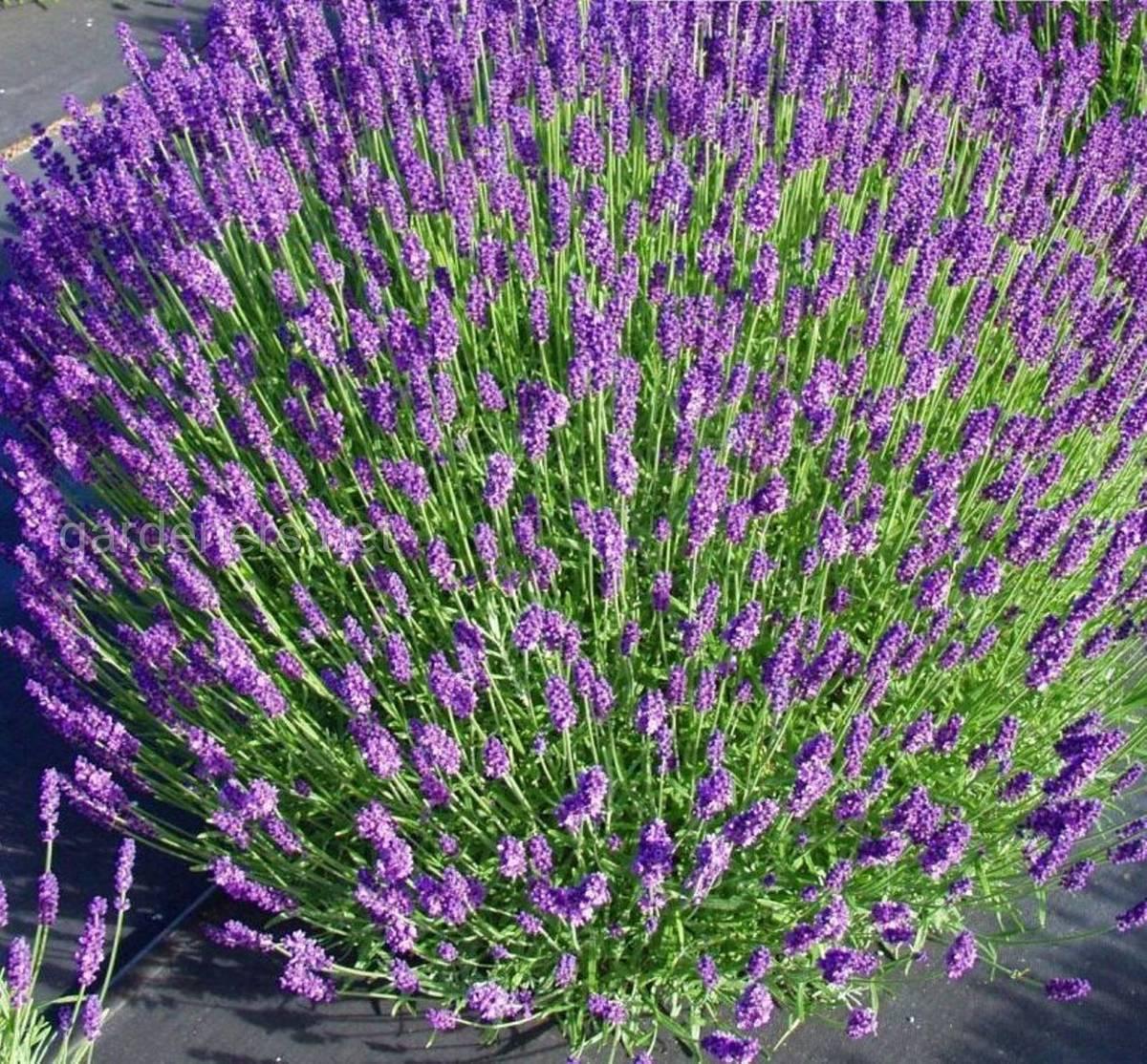 Лаванда — выращивание, сорта, посадочный материал, основы уход + 91 фото