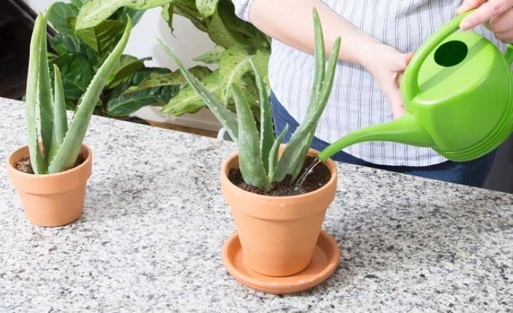 Примеры пересадки алоэ: без корней, в другие горшки, из отростка и другие