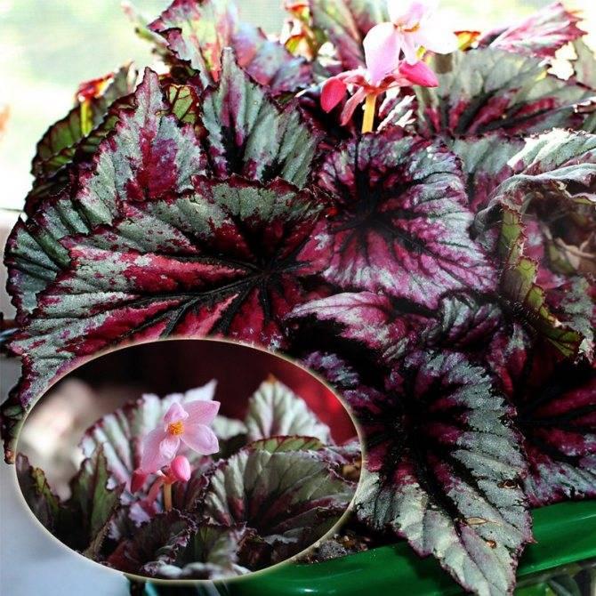 Бегония королевская (Begonia Rex) в домашних условиях