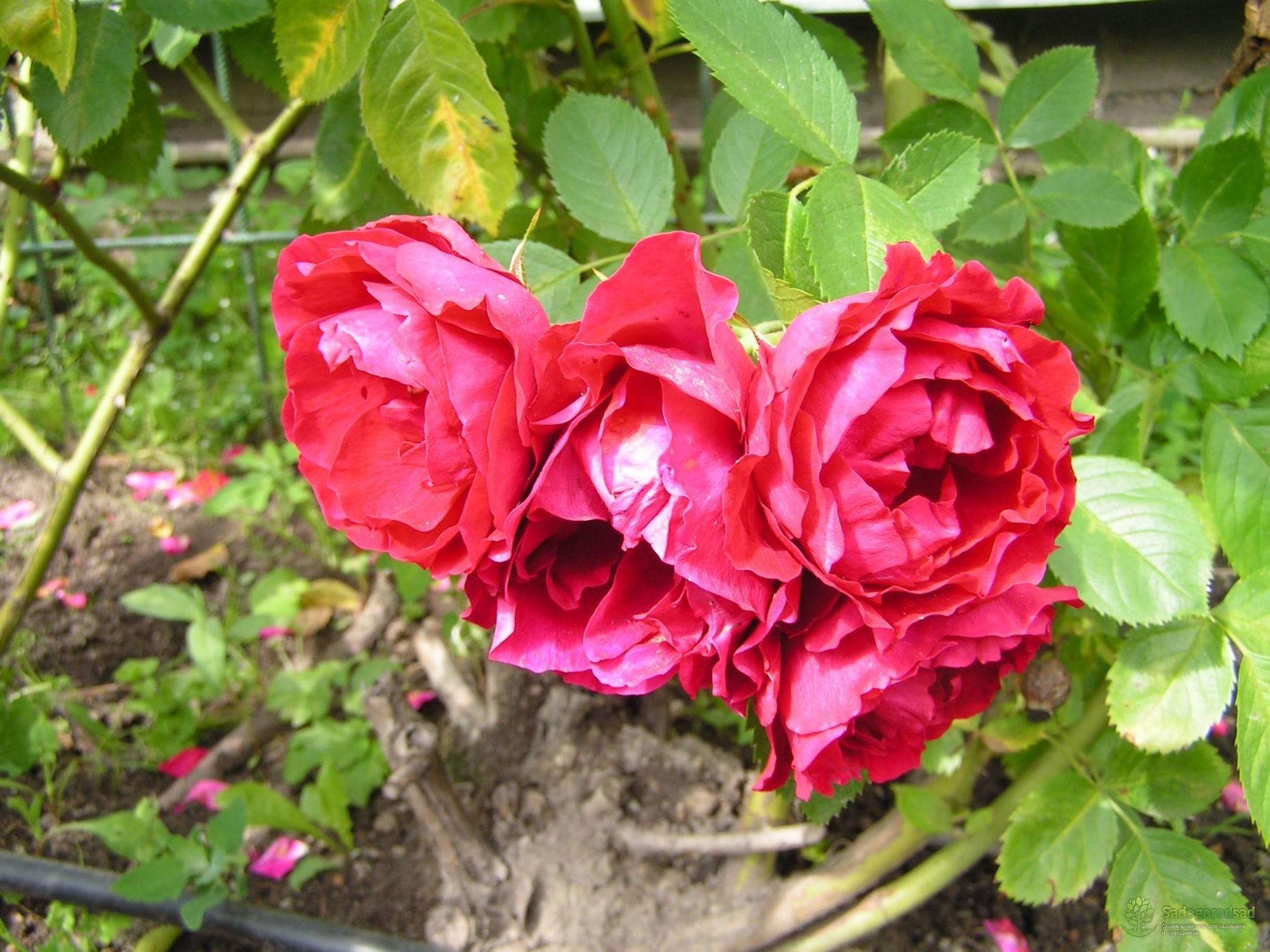 Роза фламентанц (flammentanz) — посадка и уход, как обрезать после цветения