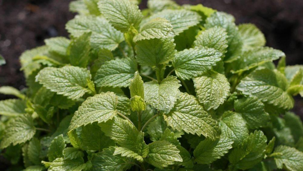 Мелисса лимонная — выращивание из семян на даче