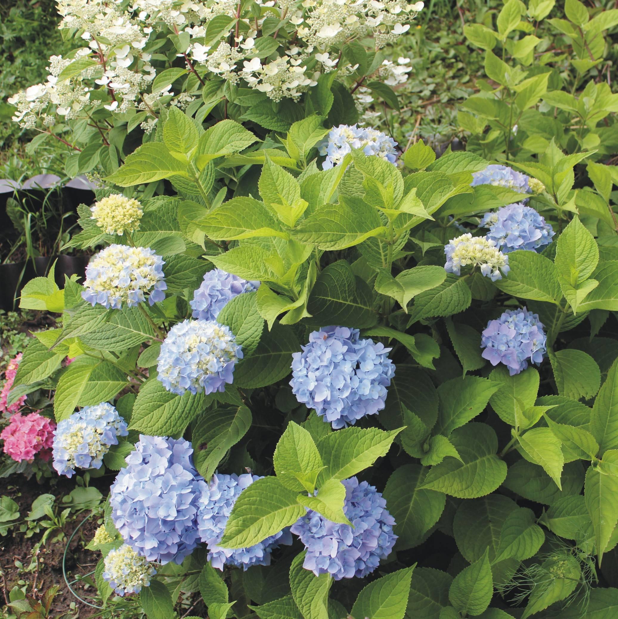 Гортензия «вечное лето»: 3 сорта и 12 правил ухода