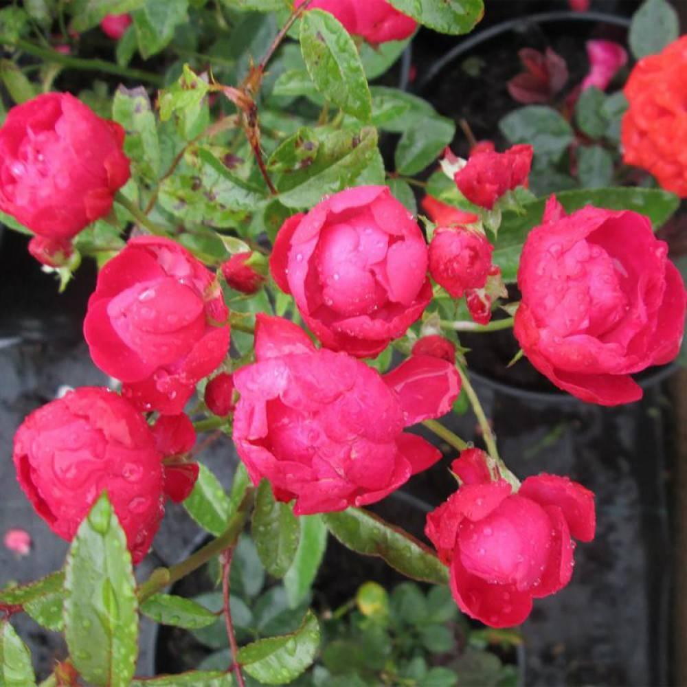 Розы полиантовые сорта