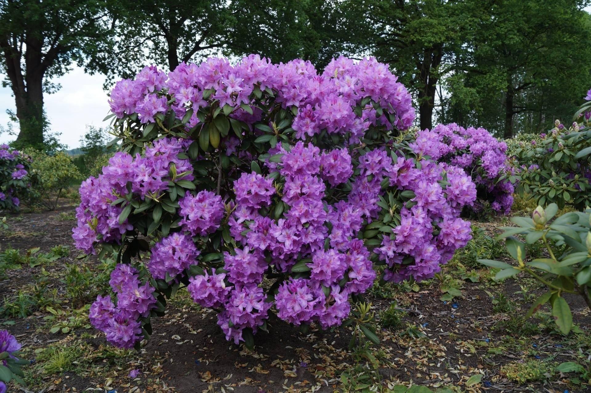 Рододендроны: выращивание и уход, описание сортов, болезни