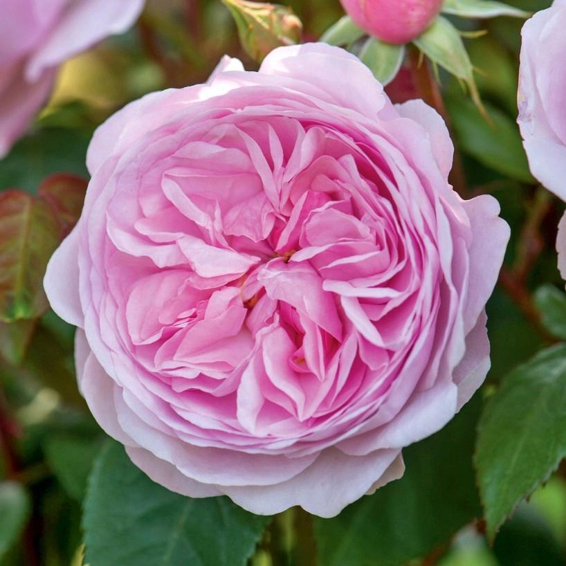 Парковый сорт английских роз абрахам дерби: выращивание плетистого шраба