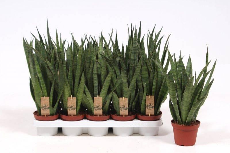 Выращивание сансевиерии ханни фаворит, сильвер, блэк : как посадить, ухаживать