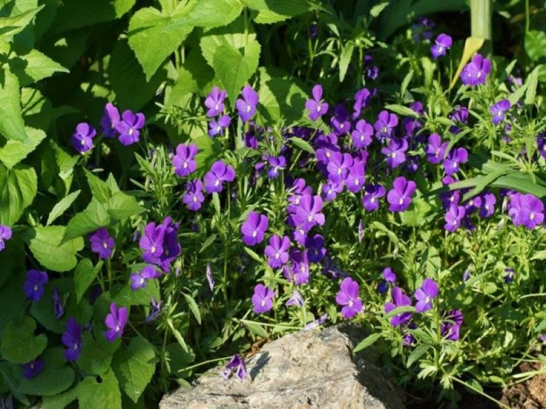 Виды и сорта садовых фиалок