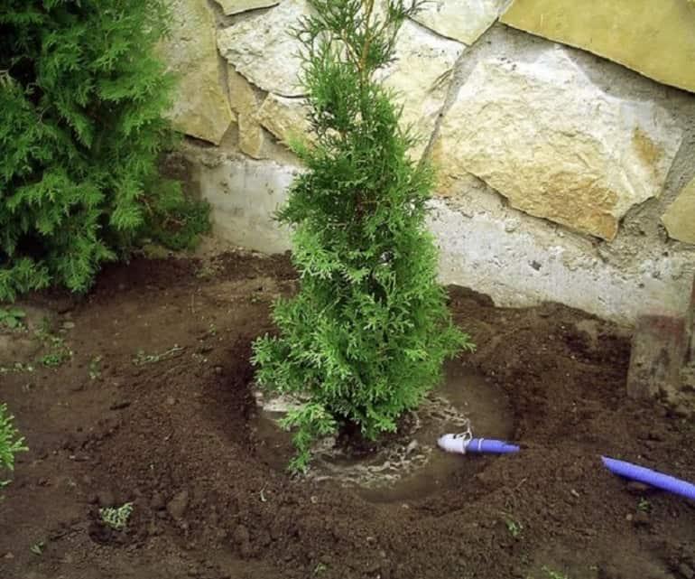 Выращивание туи - требования и уход