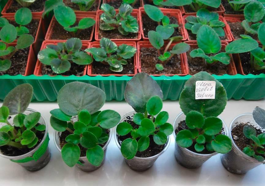 О выращивании мини фиалок дома: описание миниатюрных сортов, правила ухода