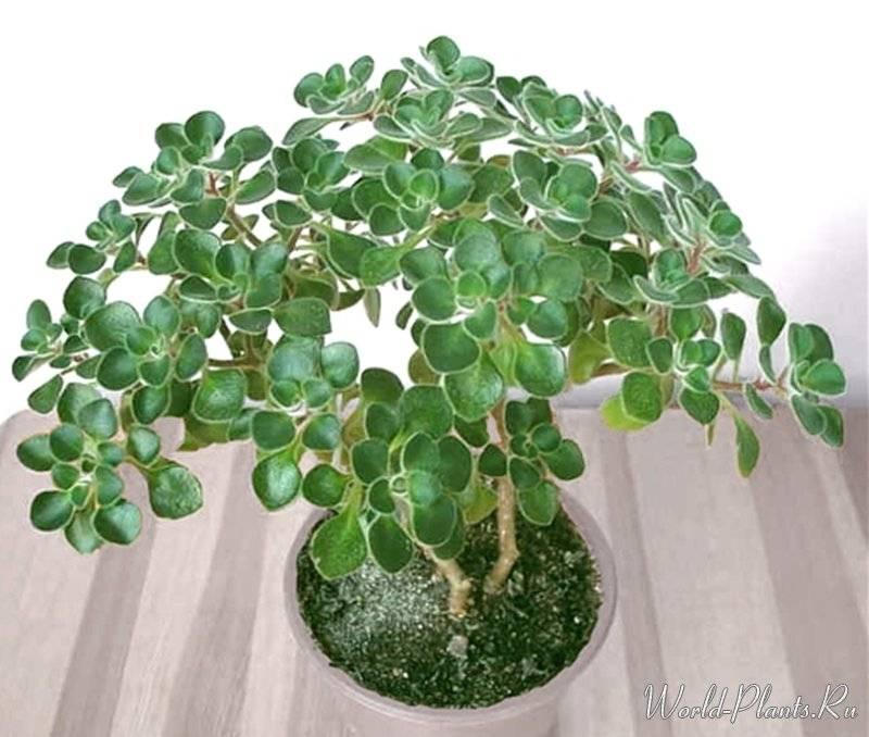 Аихризон — дерево любви и счастья