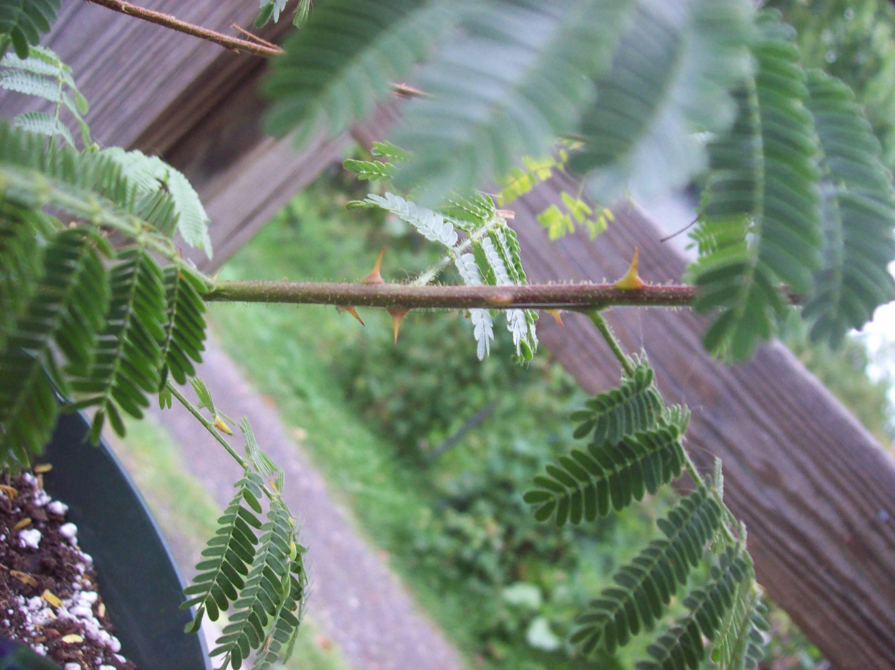 Мимоза: где растет, виды, описание с фото, выращивание и уход