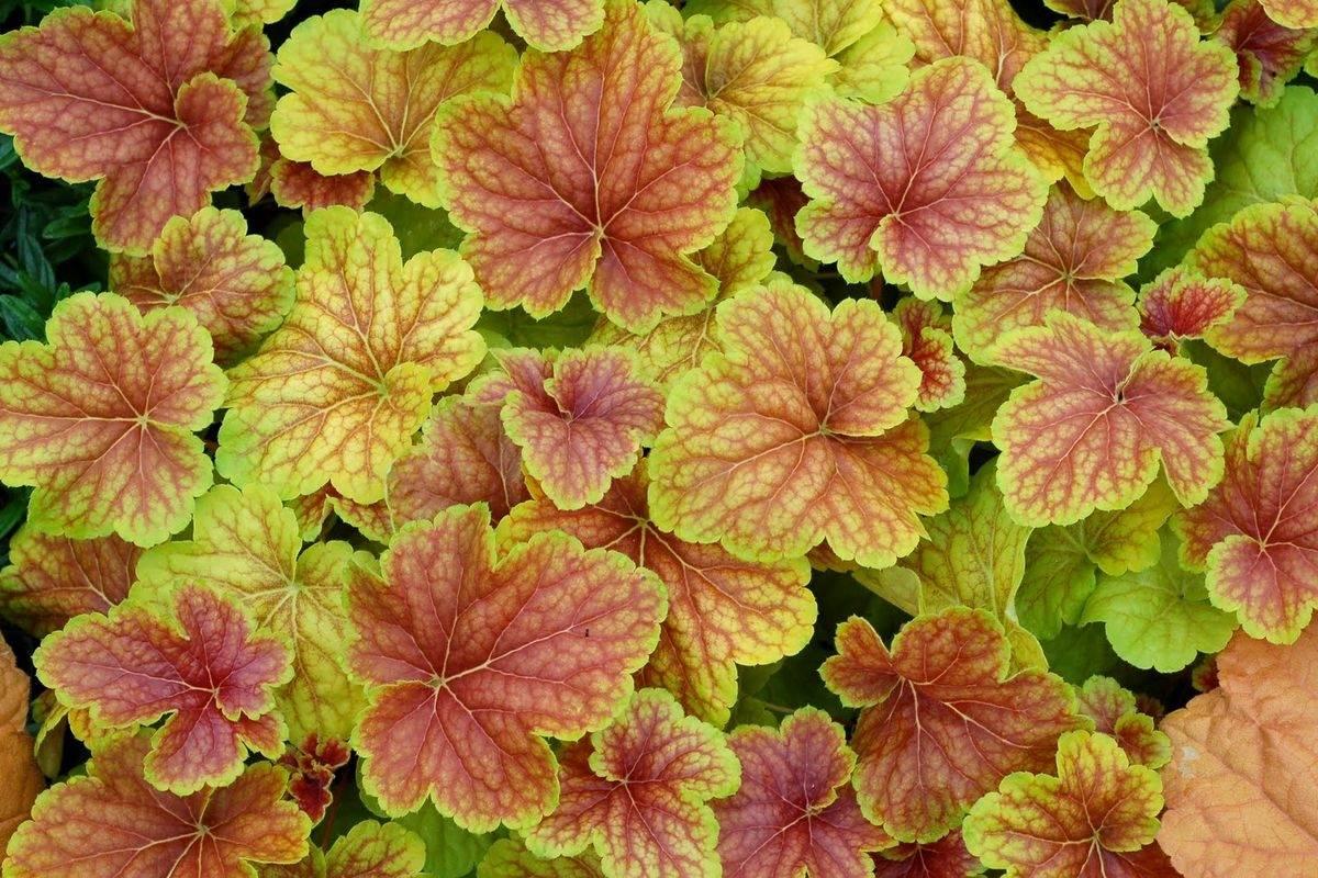 Садовые цветы гейхера