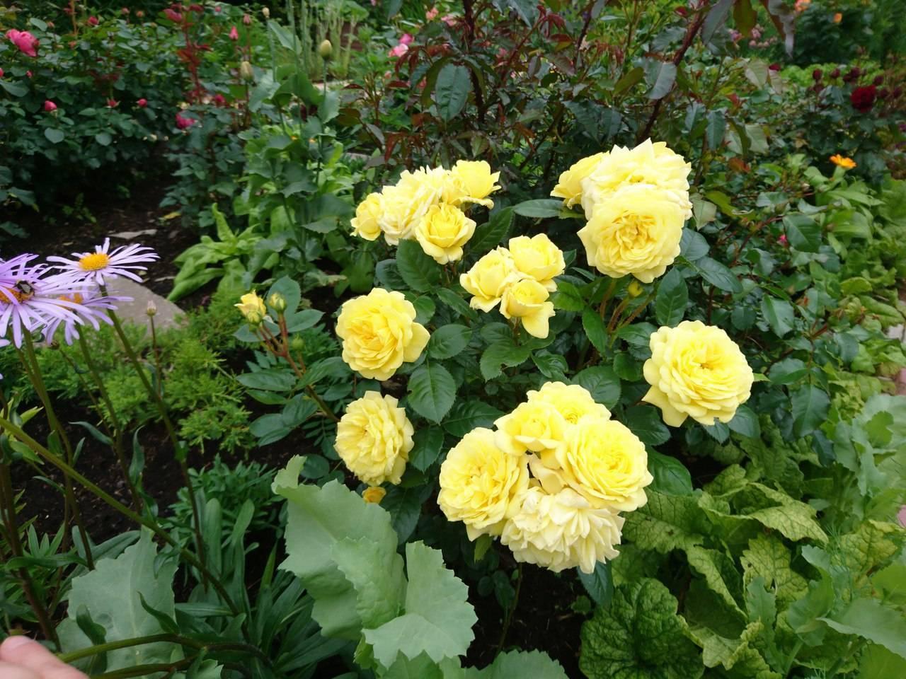 Роза флорибунда фрезия: описание сорта, фото и отзывы садоводов