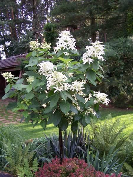 Метельчатая гортензия: сорта, фото, описание новых и лучших видов этого прекрасного растения